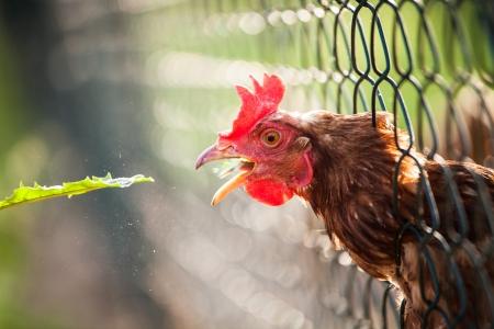 hen in a farmyard (Gallus gallus domesticus) photo
