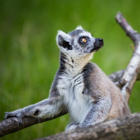 big eyes: Lemur kata (Lemur catta) Stock Photo
