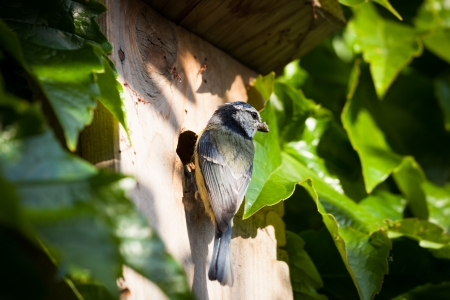 titmouse: Blue tit (Cyanistes caeruleus) by a nesting box