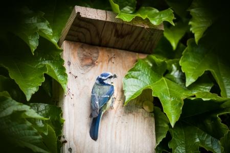 caeruleus: Blue tit (Cyanistes caeruleus) by a nesting box