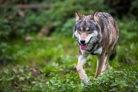 horrific: GrayEurasian wolf (Canis lupus) Stock Photo