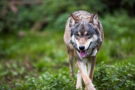 lupus: GrayEurasian wolf (Canis lupus) Stock Photo