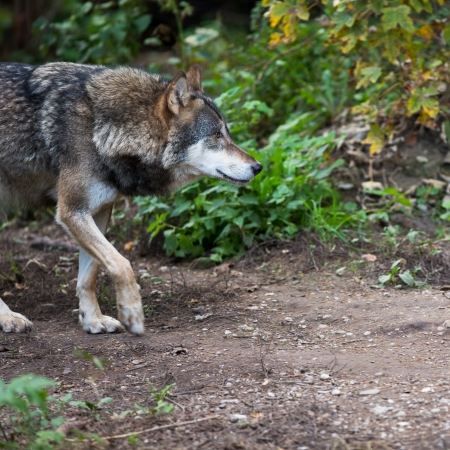 Gray/Eurasian wolf (Canis lupus) Stock Photo - 16814280