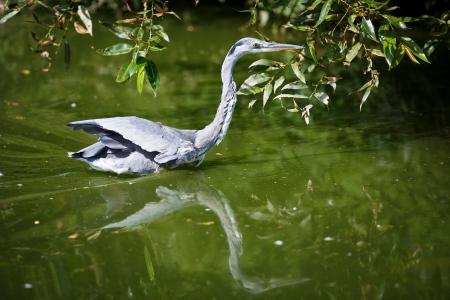 ardea cinerea: Grey Heron (Ardea cinerea)