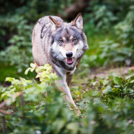 GrayEurasian wolf (Canis lupus) photo