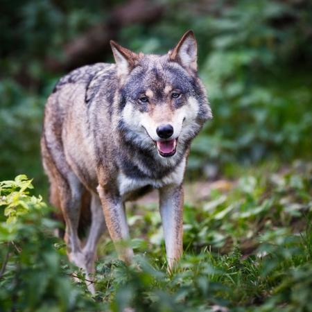 ferocious: GrayEurasian wolf (Canis lupus) Stock Photo