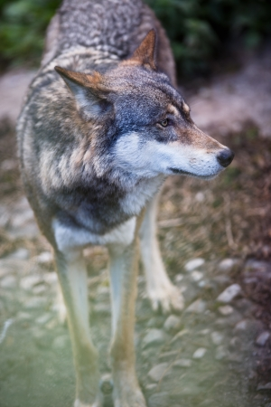 Gray/Eurasian wolf (Canis lupus) Stock Photo - 16818578