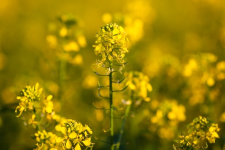 brassica: Colza (Brassica rapa)