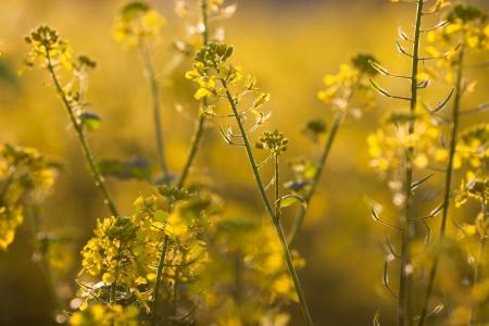 colza: Colza (Brassica rapa)