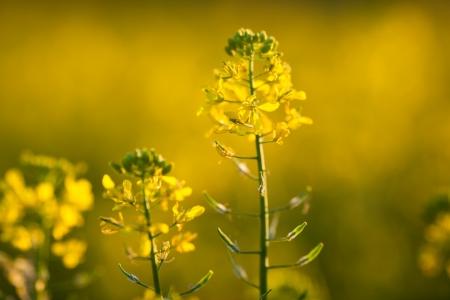 nice weather: Colza (Brassica rapa)