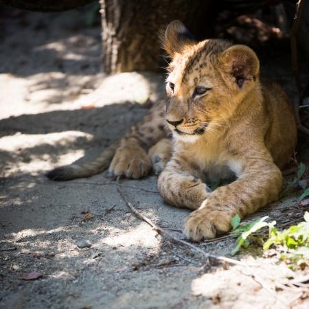Cute lion cub photo
