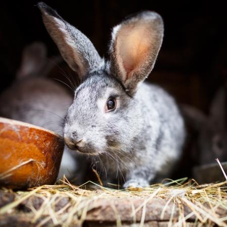 Cute rabbit popping out of a hutch (European Rabbit - Oryctolagus cuniculus)