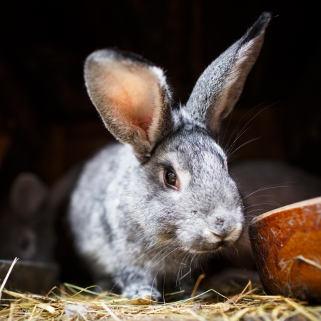 rabbit cage: Cute rabbit popping out of a hutch (European Rabbit - Oryctolagus cuniculus)