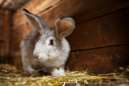 Cute rabbit popping out of a hutch (European Rabbit - Oryctolagus cuniculus)