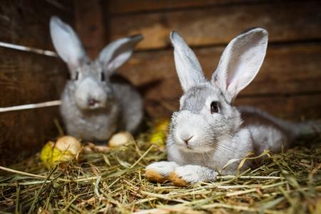 conejo: Los conejos j�venes en una jaula (Conejo - Oryctolagus cuniculus)