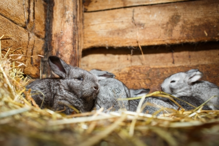 Young rabbits in a hutch (European Rabbit - Oryctolagus cuniculus) photo