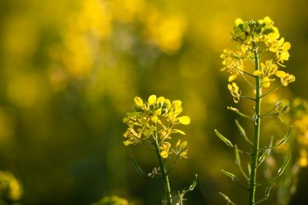 rapa: Colza (Brassica rapa)