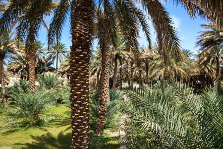 desert vegetation: Oasis in the middle of a desert  Oman