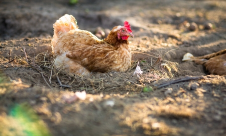 Hen in a farmyard (Gallus gallus domesticus) Stock Photo - 17662082