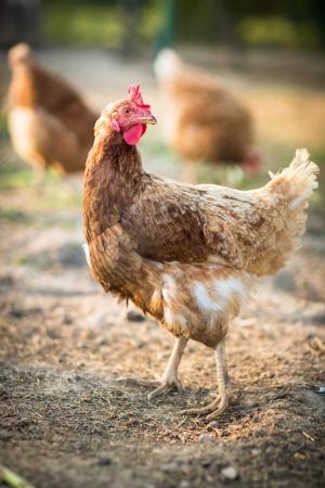 granja avicola: Gallina en un corral (Gallus gallus domesticus)