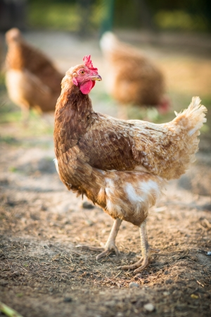 Hen in a farmyard (Gallus gallus domesticus) photo