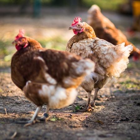 on perch: Hen in a farmyard (Gallus gallus domesticus)