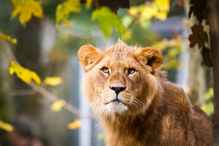 Close-up portrait of a majestic lioness (Panthera Leo) Stock Photo - 17662041