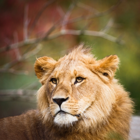 Close-up portrait of a majestic lioness (Panthera Leo) photo