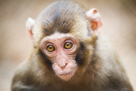 darwin: Closeup of a baby Japanese macaque (Macaca fuscata) Stock Photo