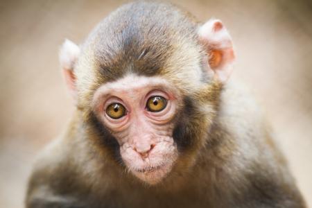 macaque: Gros plan d'un b�b� macaque japonais (Macaca fuscata)