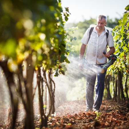 cabernet sauvignon: Vintner walking in his vineyard spraying chemicals on his vines