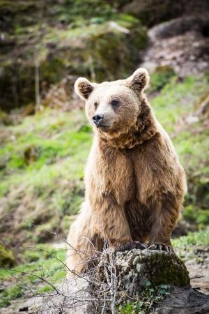 oso pardo: Oso pardo (Ursus arctos) Foto de archivo