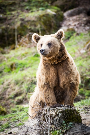 grizzly: Ours brun (Ursus arctos)