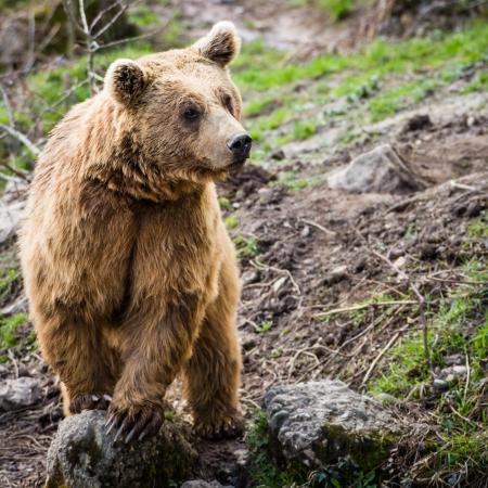 oso negro: Oso pardo (Ursus arctos) Foto de archivo