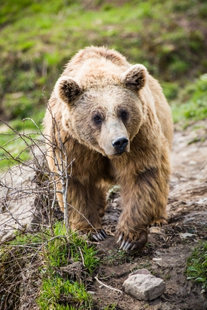 Brown Bear (Ursus arctos) photo