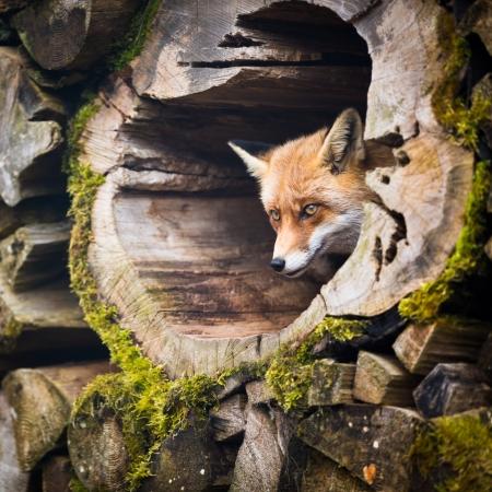 burrow: Red Fox (Vulpes vulpes) Stock Photo