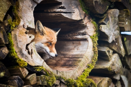 Red Fox (Vulpes vulpes) Stock Photo - 19726088