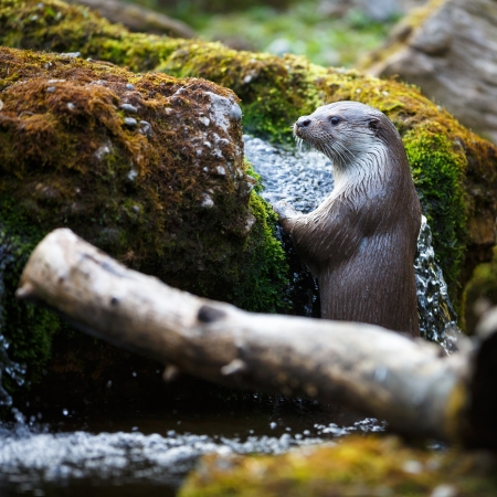 poacher: Eurasian otter (Lutra lutra)