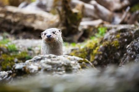 otter: Eurasian otter (Lutra lutra)