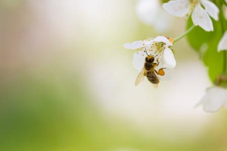 Honingbij genieten van bloeiende kersenboom op een mooie lentedag