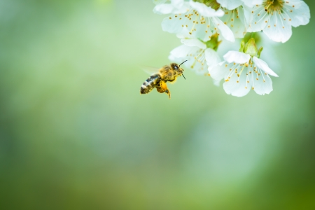bee swarm: Honey bee in flight approaching blossoming cherry tree