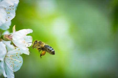 꽃이 만발한 벚꽃 나무에 접근 비행 꿀 꿀벌