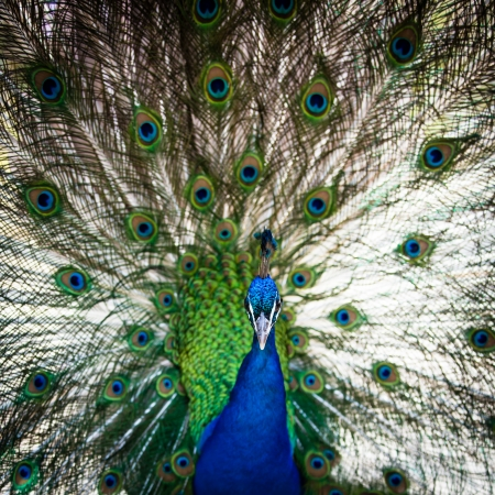 indian peafowl: Splendid peacock with feathers out  Pavo cristatus   shallow DOF; color toned image  Stock Photo