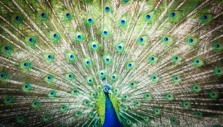Splendid peacock with feathers out  Pavo cristatus   shallow DOF; color toned image  photo