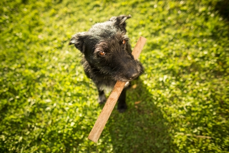 Cute dog playing with a piece of wood in lovely late afternoon sunshine show with shallow DOF photo
