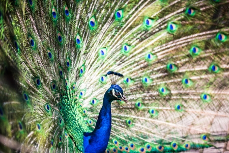 pavo cristatus: Splendid peacock with feathers out  Pavo cristatus   shallow DOF; color toned image  Stock Photo