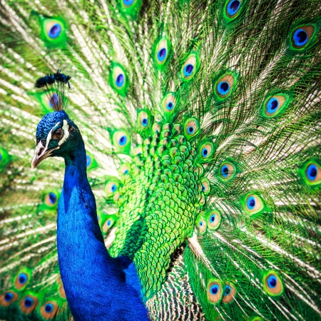 blue peafowl: Splendid peacock with feathers out  Pavo cristatus   shallow DOF; color toned image  Stock Photo