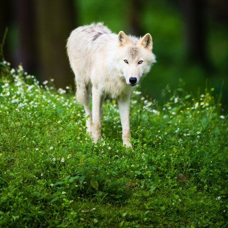 horrific: Arctic Wolf  Canis lupus arctos  aka Polar Wolf or White Wolf - Close-up portrait of this beautiful predator against lovely green grass Stock Photo