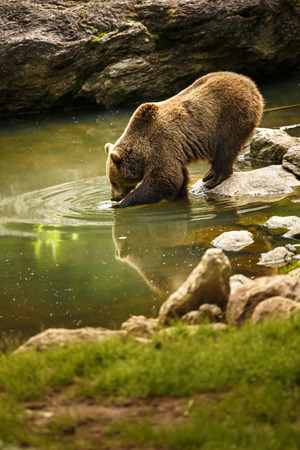 Brown bear considering taking a bath photo