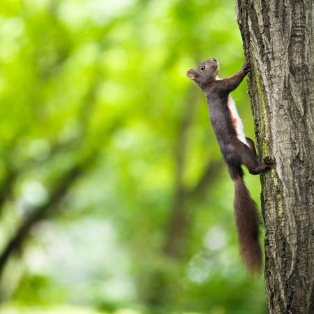 Closeup of a red squirrel (Sciurus vulgaris) photo